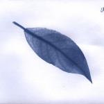 erbariocyano04
